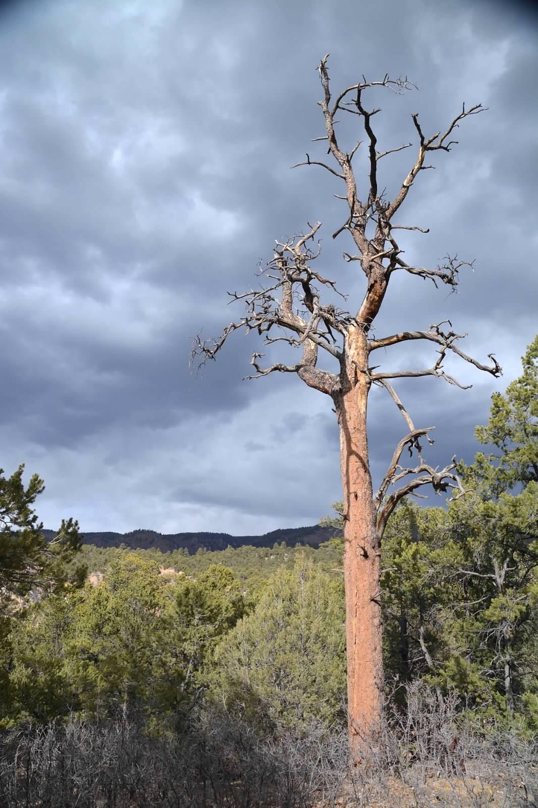 Ol Skraggly Sahalee Off Grid ponderosa pine